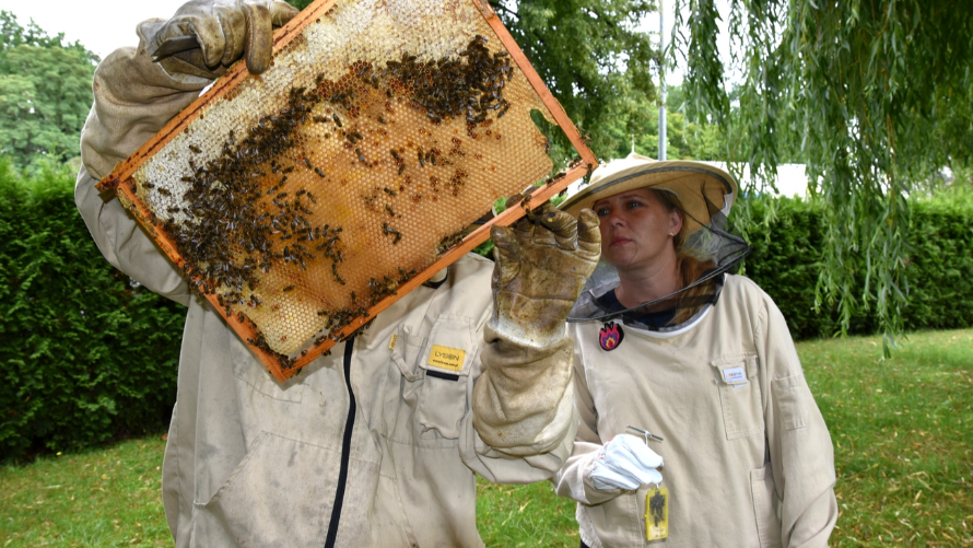 Pszczelarze - poddawanie matki pszczelej do ula na terenach zielonych przy starostwie.